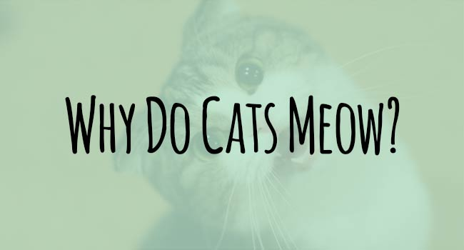 Why Do Cats Meow At Humans
