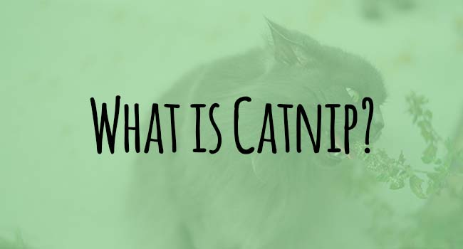 what-is-catnip