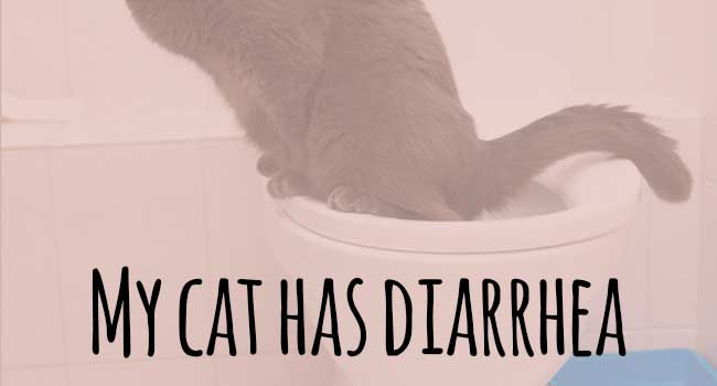 My Cat Has Diarrhea What Can I Do