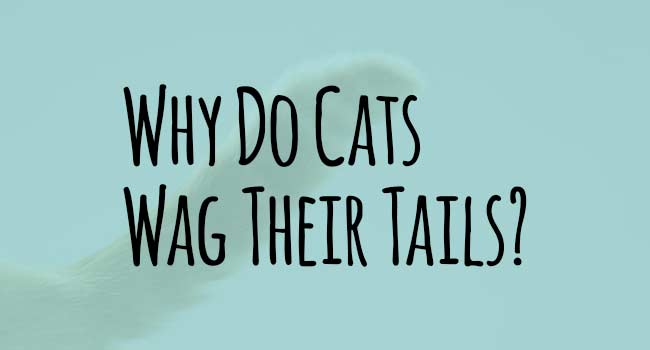 Cats Wagging Tails What Does That Mean
