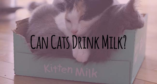 can-cats-drink-milk-main